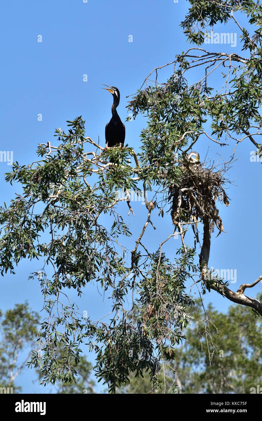 An Australian Darter bird on a tree branch - Stock Image