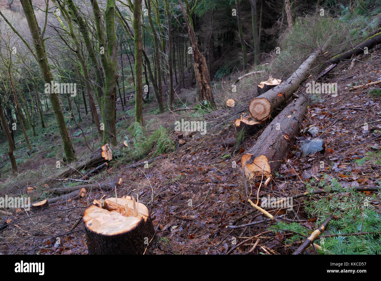 Western Hemlock, planted in Ancient Oak woodland by the Forestry Commission in 1957, being felled to waste under - Stock Image