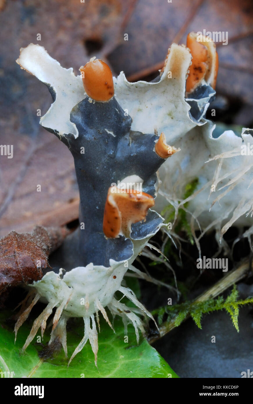 Close up of Dog Lichen, Peltigera canina, with fruiting bodies, Wales, UK - Stock Image
