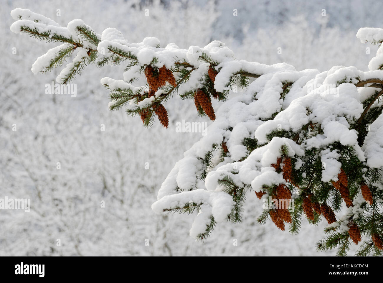 Cones of Douglas Fir, Pseudotsuga menziesii, in snow, Wales, UK. - Stock Image