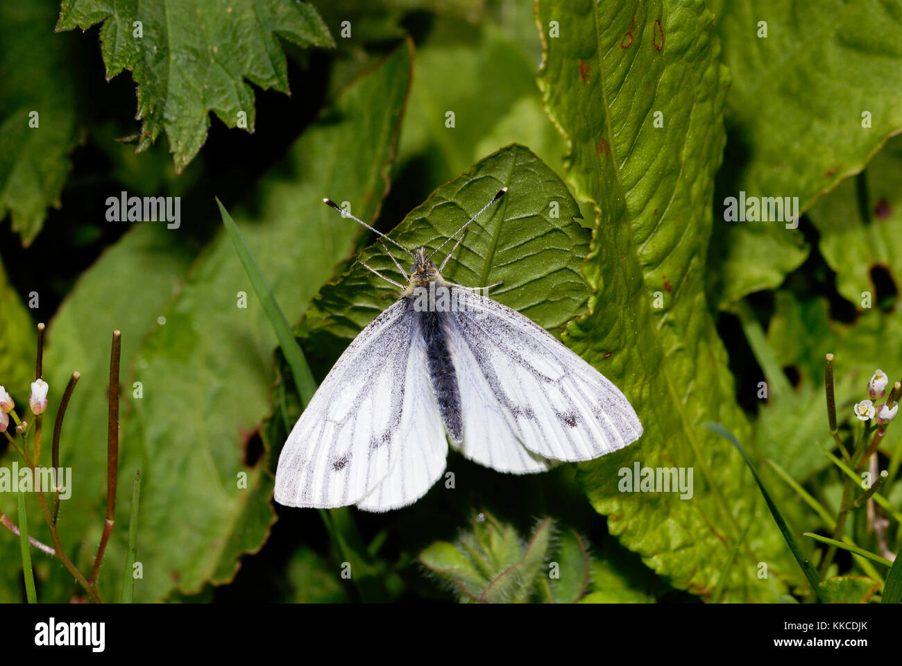 Green-veined White butterfly, Pieris napi, Wales, UK. - Stock Image