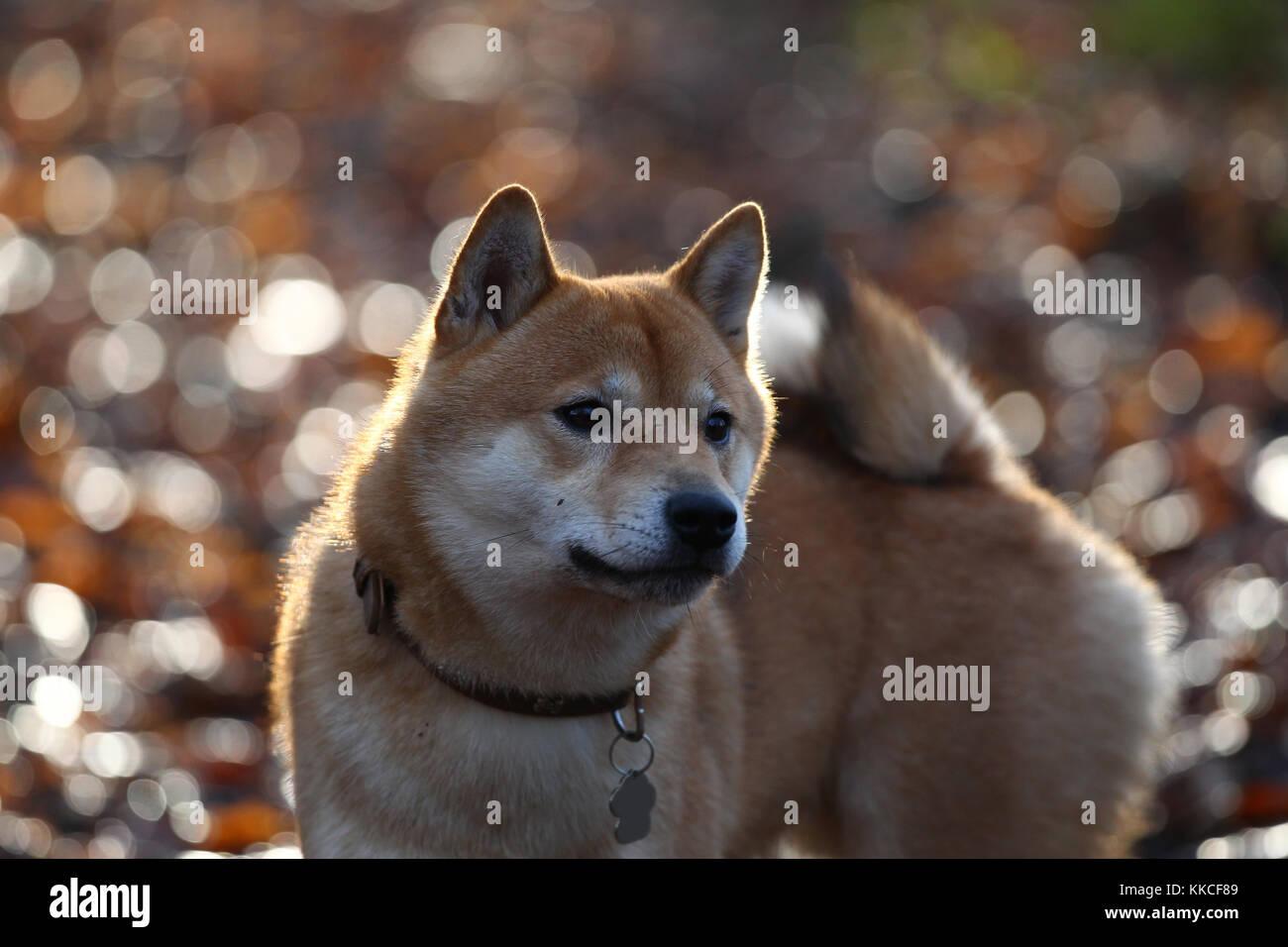 Shiba Inu Japanese Shiba Inu Shiba - Stock Image