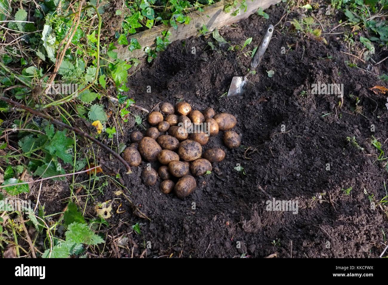 Freshly dug potatoes - Stock Image