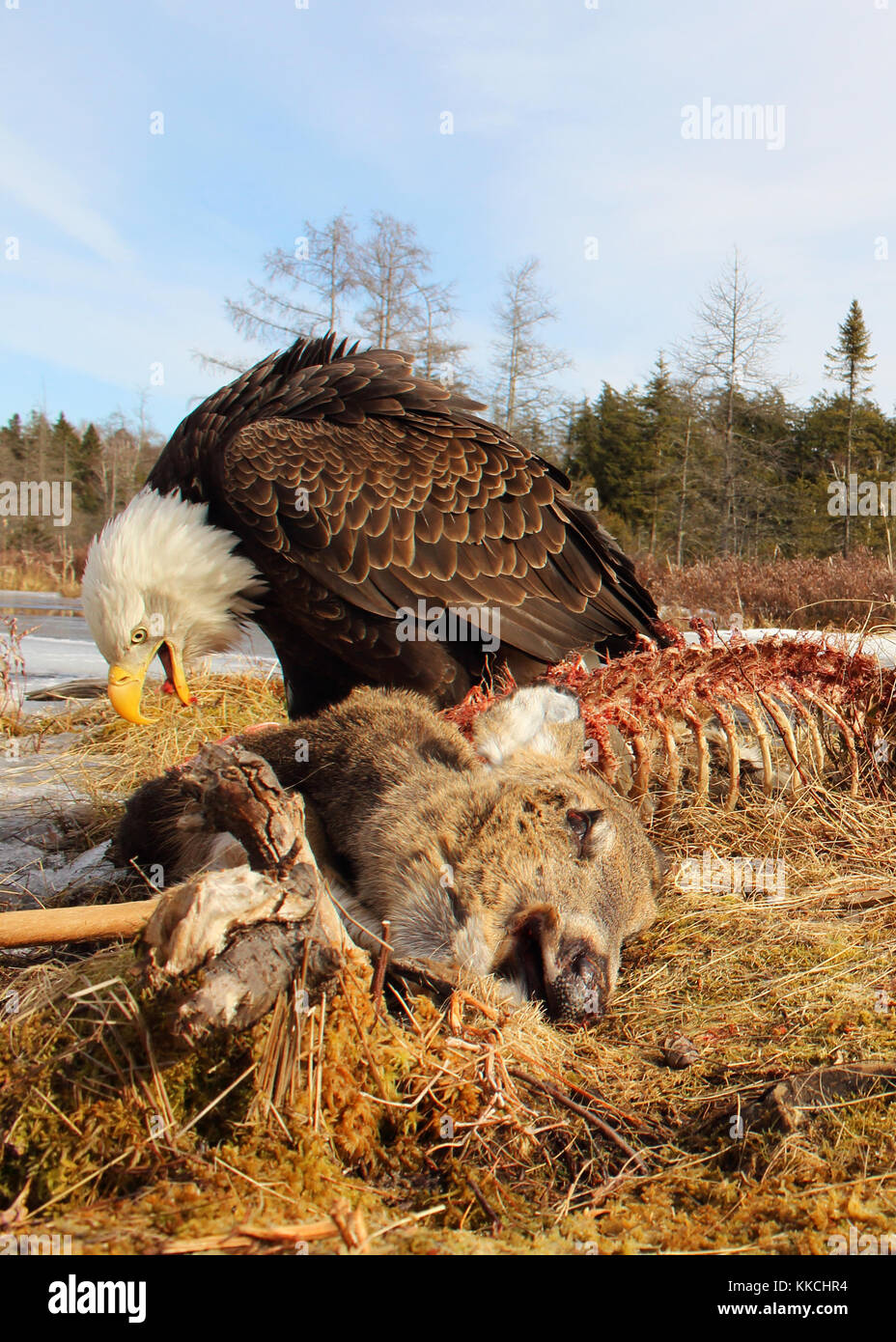 A Bald Eagle feeding on a White-tailed Deer. - Stock Image