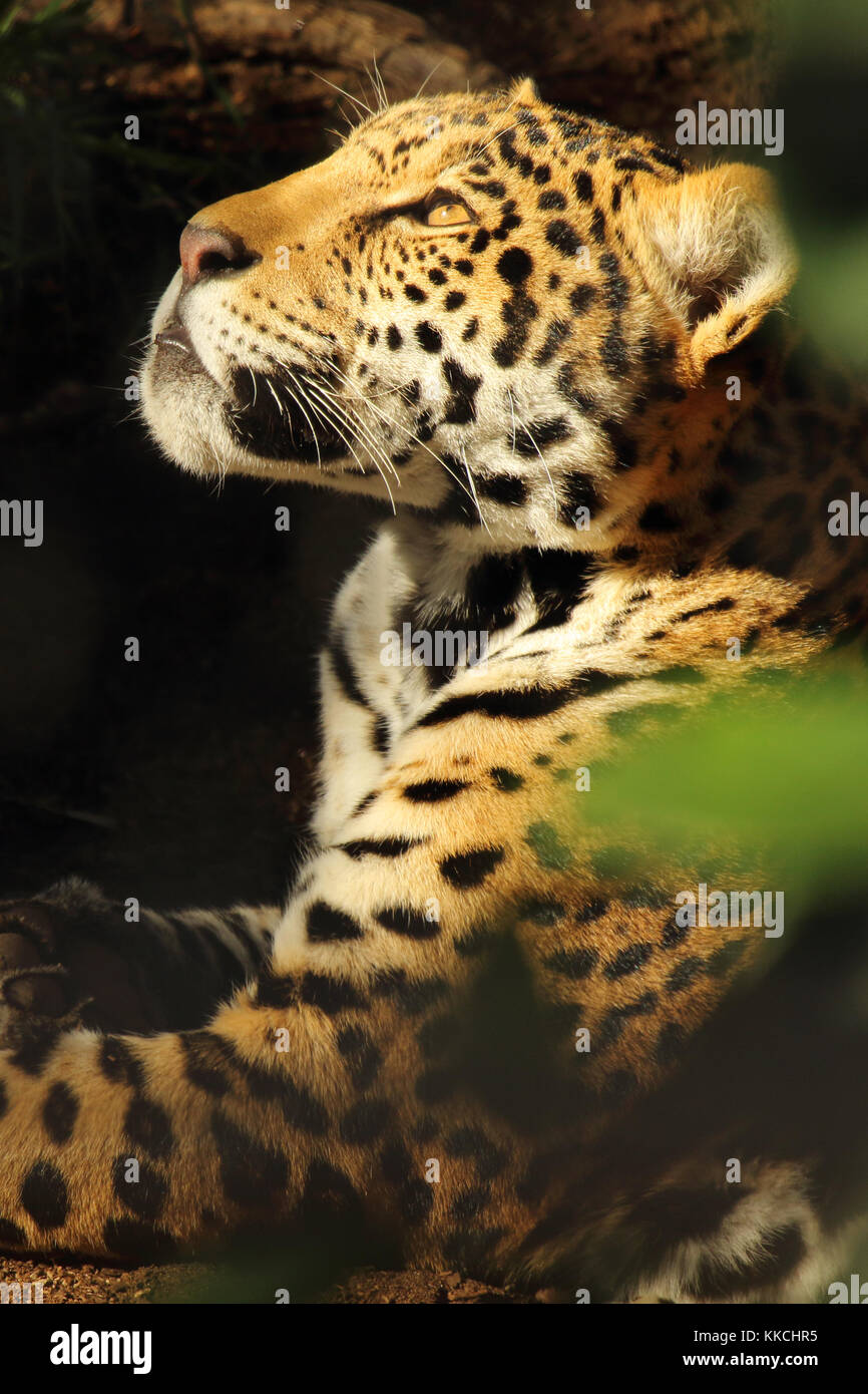 A Jaguar looking up while basking in the sun. - Stock Image