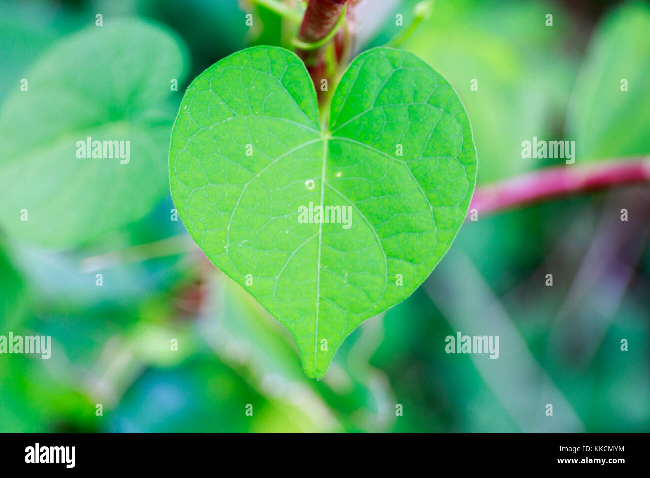 Heart shape vine leaf stock photos heart shape vine leaf stock fresh green heart shaped leaf in tropical asia stock image mightylinksfo
