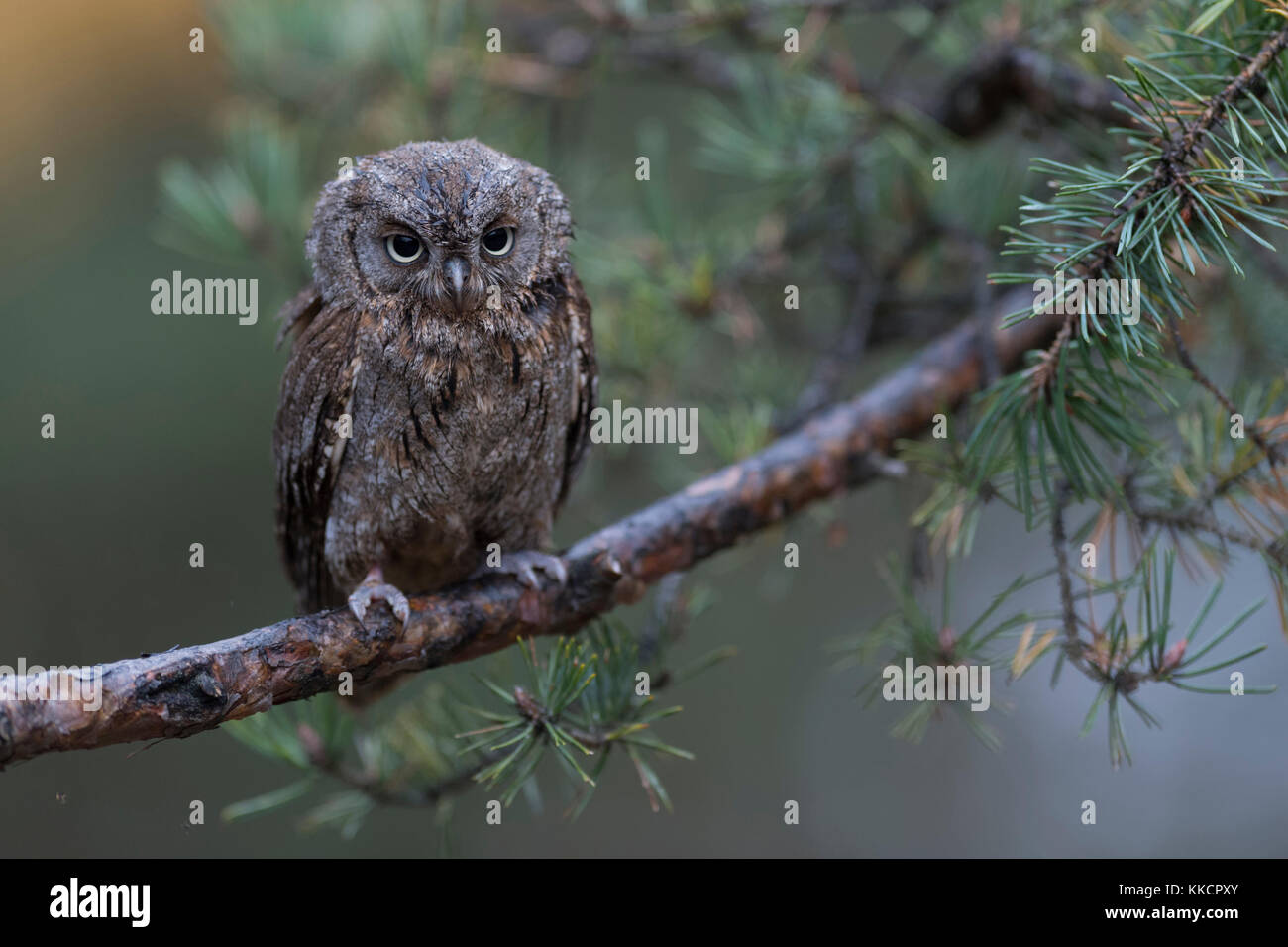 Scops Owl / Zwergohreule ( Otus scops ), perched on a branch of a pine tree, looks discontented, droll funny little - Stock Image