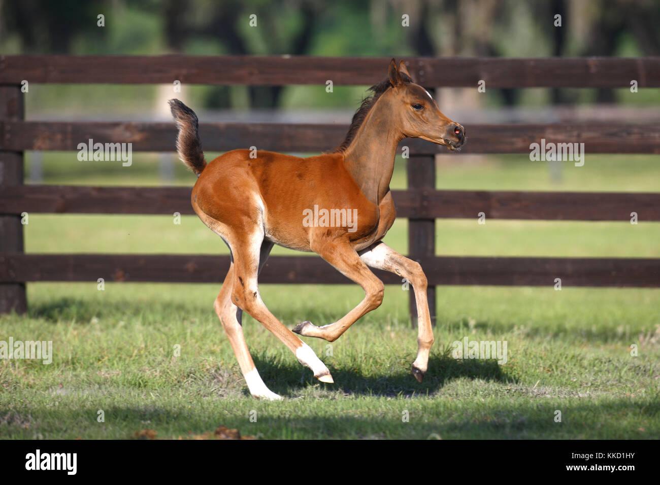 Arab foal Headshot - Stock Image