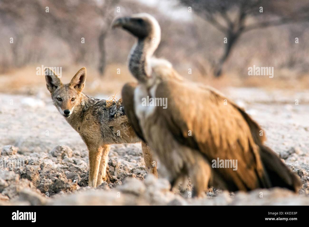 Black-backed Jackal (Canis mesomelas) and White-backed Vulture (Gyps africanus) - Onkolo Hide, Onguma Game Reserve, - Stock Image