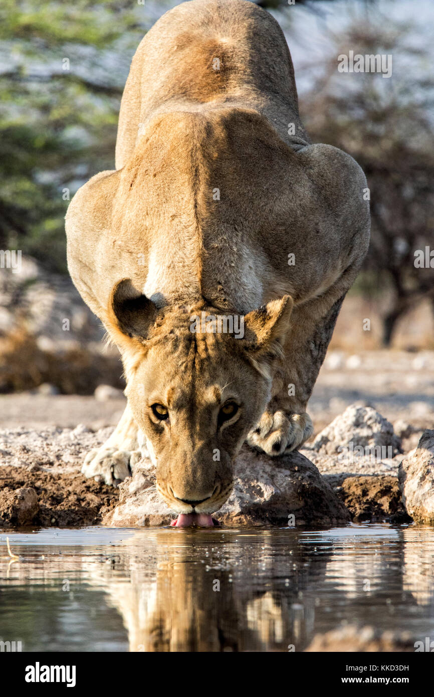 Lion (Panthera leo) drinking at Onkolo Hide, Onguma Game Reserve, Namibia, Africa Stock Photo
