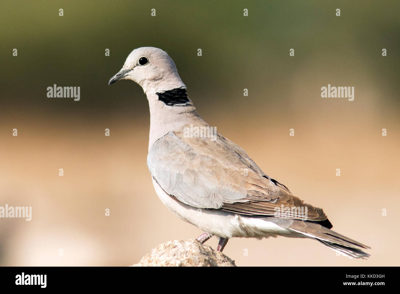 Ring-necked dove or Cape turtle dove (Streptopelia capicola) - Onkolo Hide, Onguma Game Reserve, Namibia, Africa - Stock Image