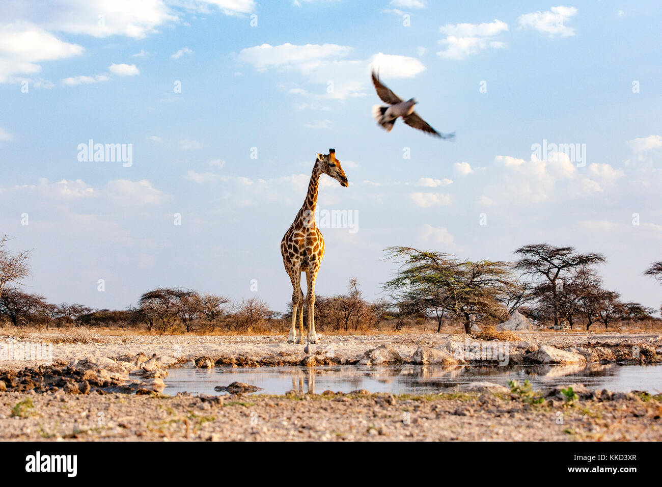 Giraffe with a Cape Turtle Dove in flight at Onkolo Hide, Onguma Game Reserve, Namibia, Africa - Stock Image