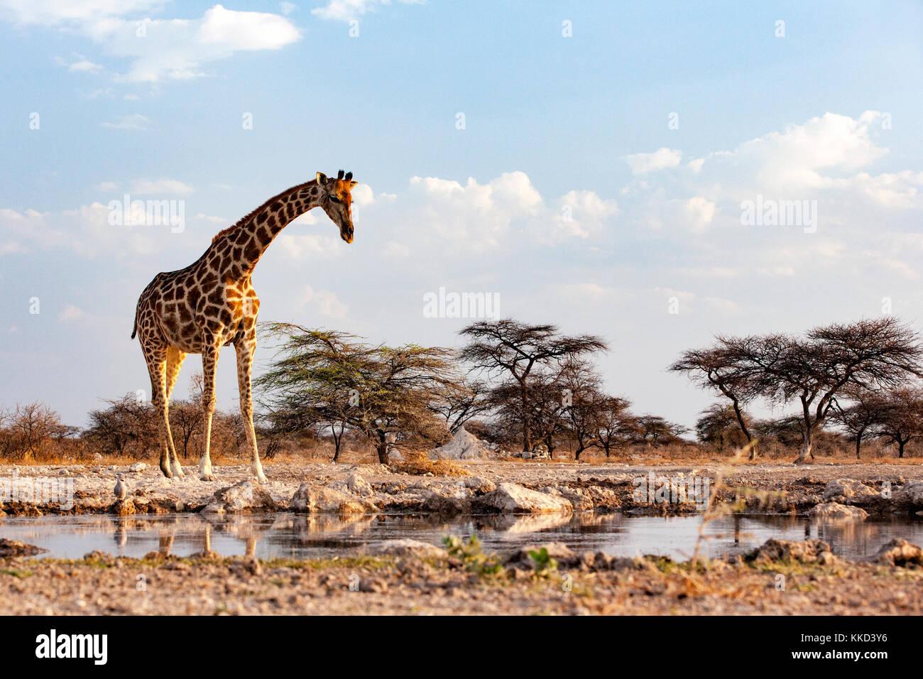 Giraffe at Onkolo Hide, Onguma Game Reserve, Namibia, Africa - Stock Image