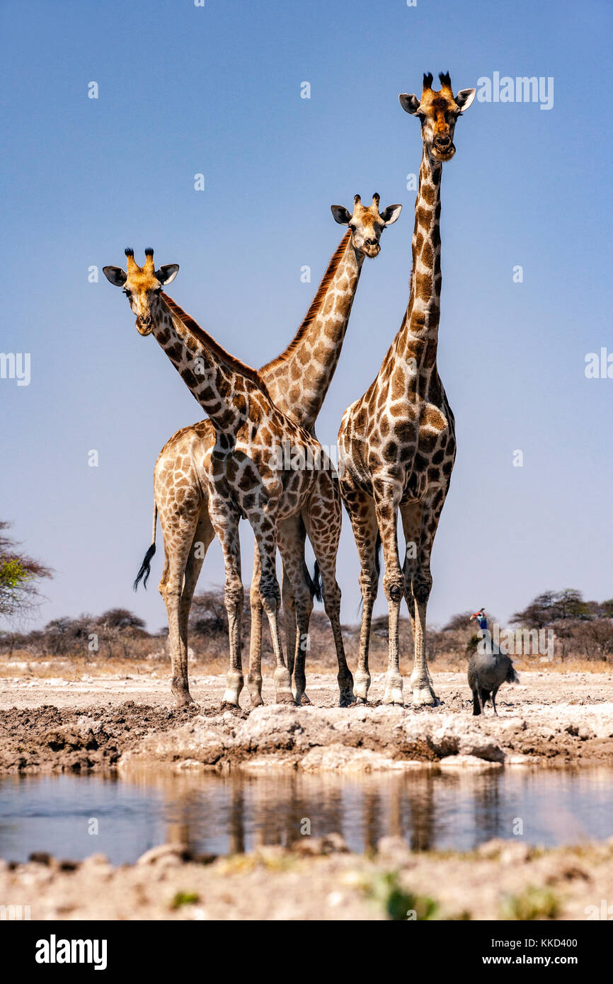 Group of Giraffe at Onkolo Hide, Onguma Game Reserve, Namibia, Africa - Stock Image