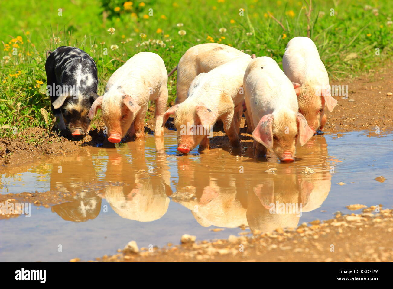 Cute little piglets on farm - Stock Image