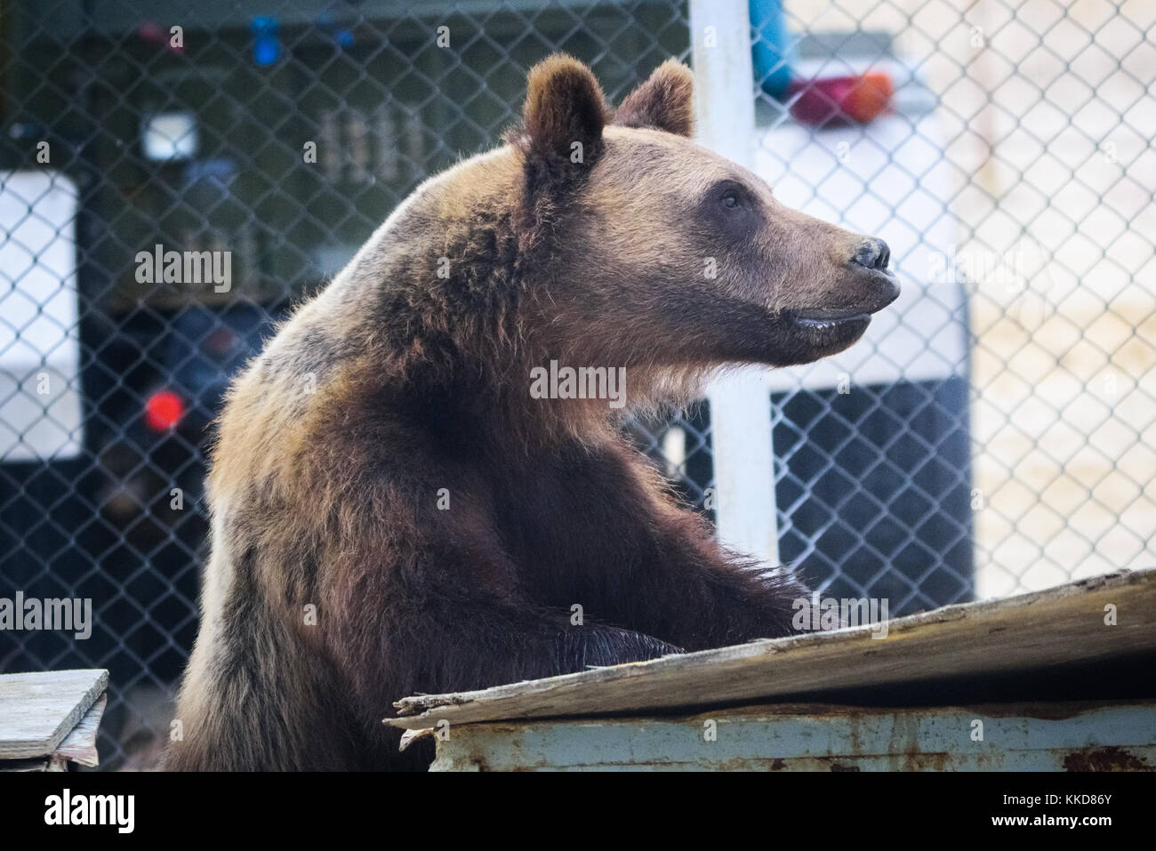 The Bear Eats Out Of Trash Can Territory C In Stock Photo 166863632 Alamy