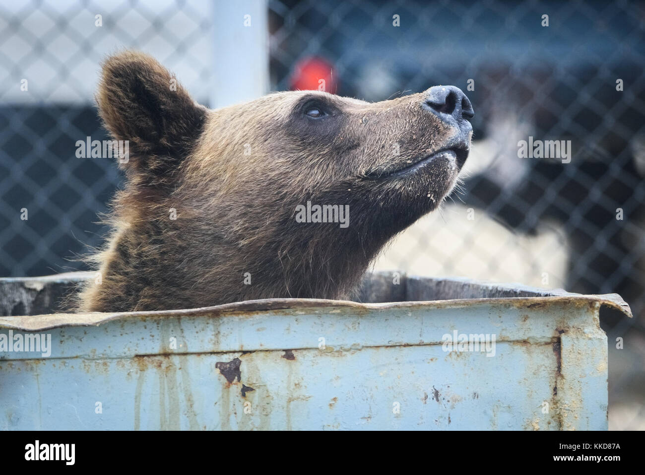 Jack Huff S Bear Eating Out Of Trash Can
