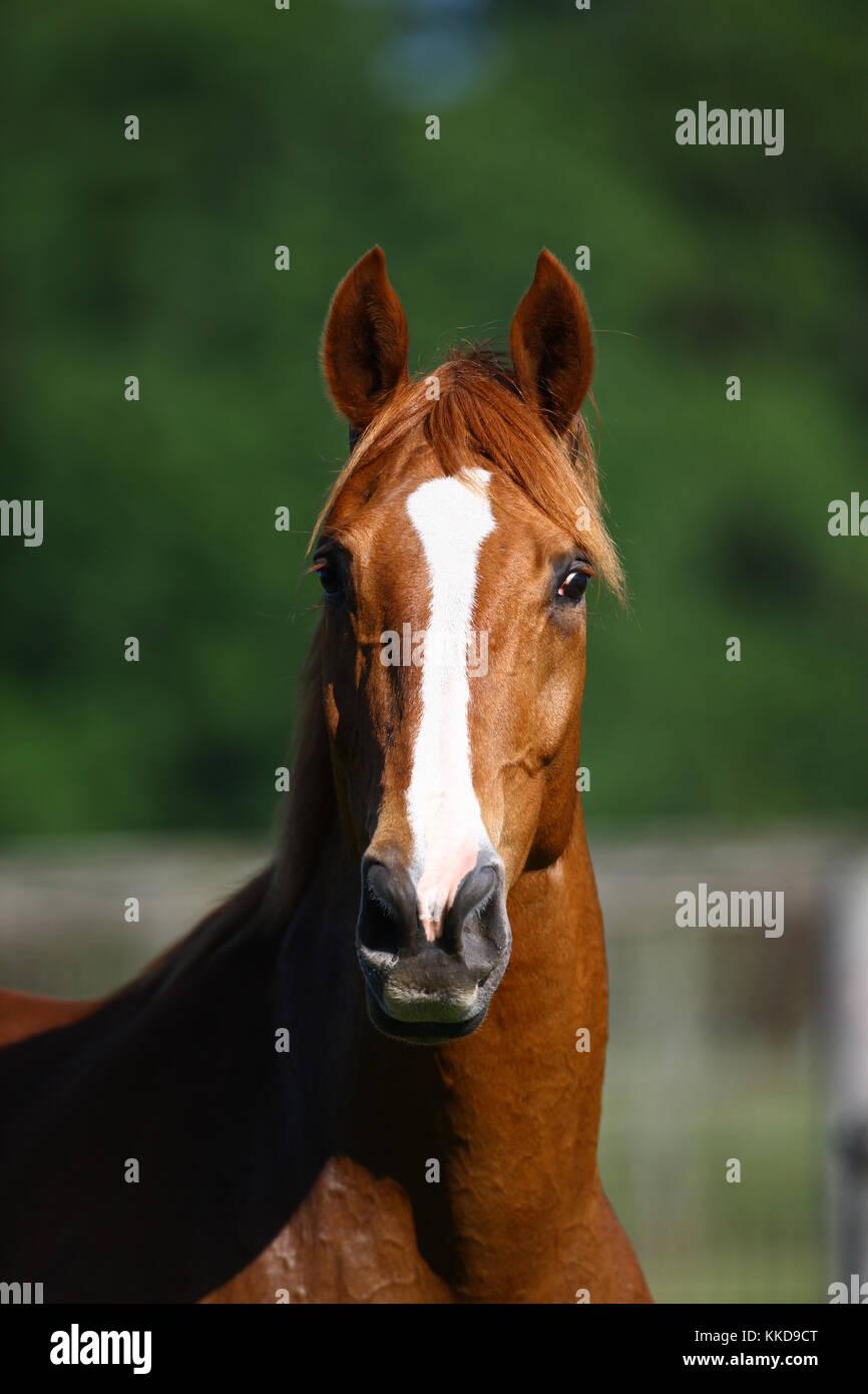 warmblood horse - Stock Image