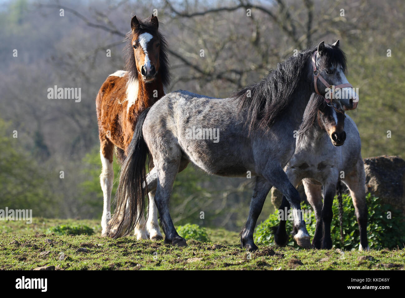 Welsh Section A Ponies And Part Bred Welsh - Stock Image
