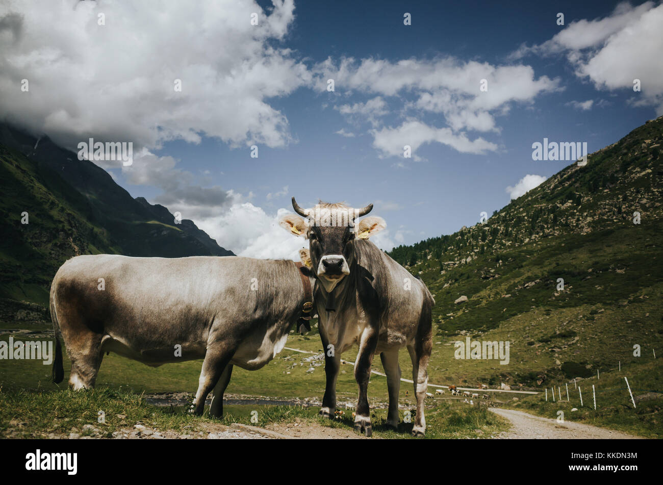 cows looking into camera - Stock Image
