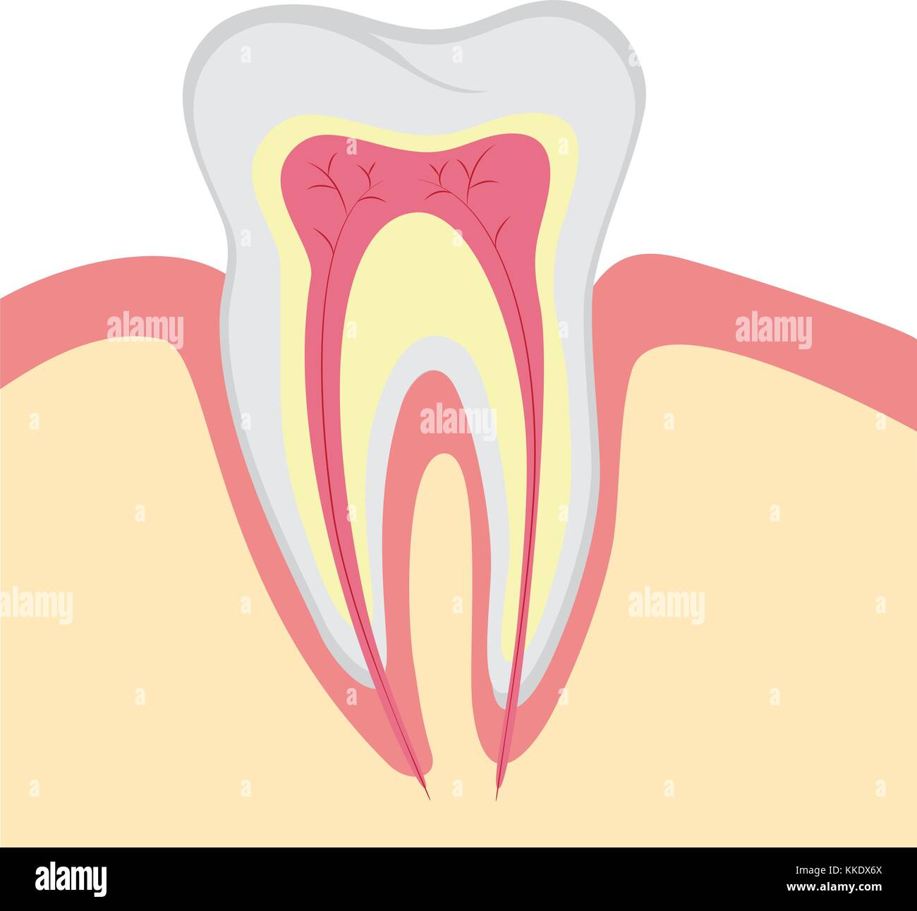 Structure of human tooth, vector illustration - Stock Vector