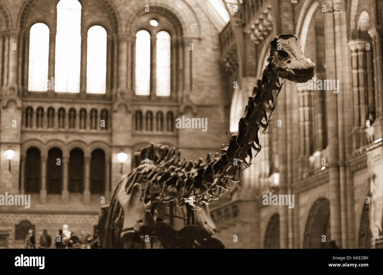 Natural History Museum, London - 15 Feb 2008 - Dippy was the iconic Diplodocus dinosaur of the Natural History Museum - Stock Image