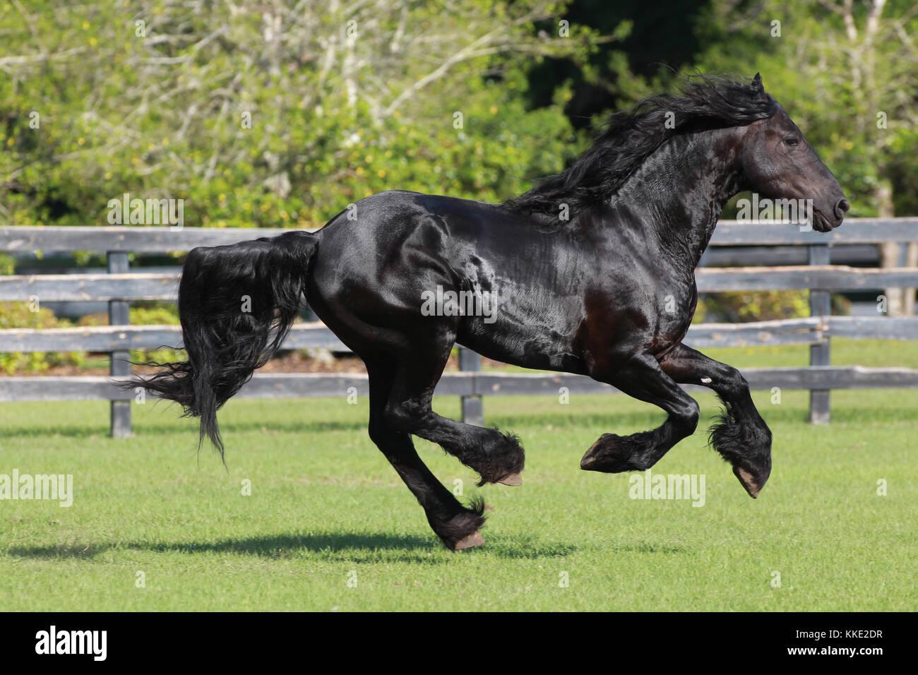 Friesian Horse Running Free - Stock Image