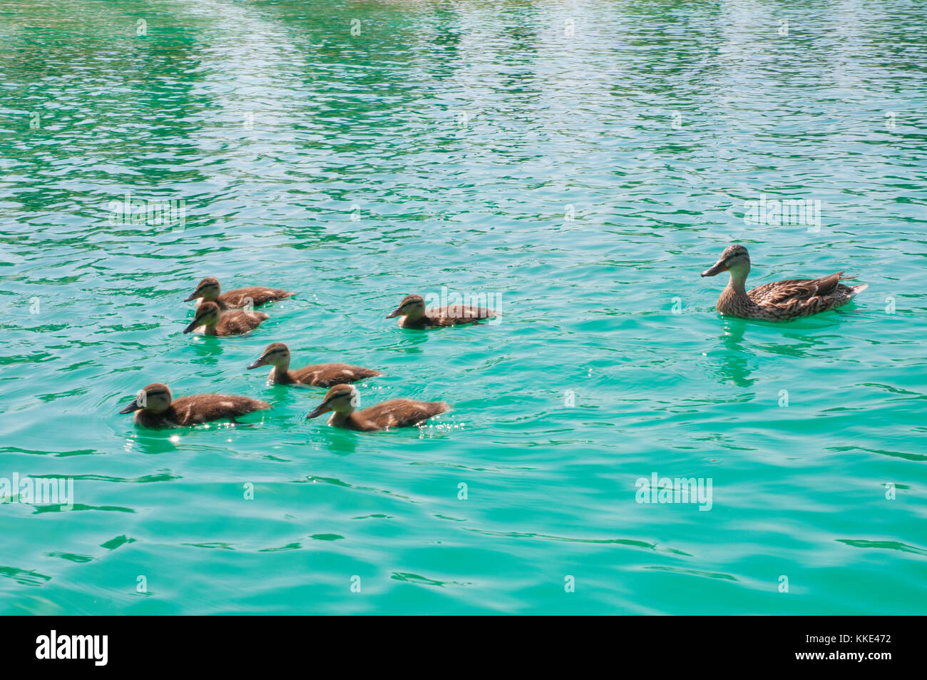 Female duck with her ducklings swimming in a pool. - Stock Image
