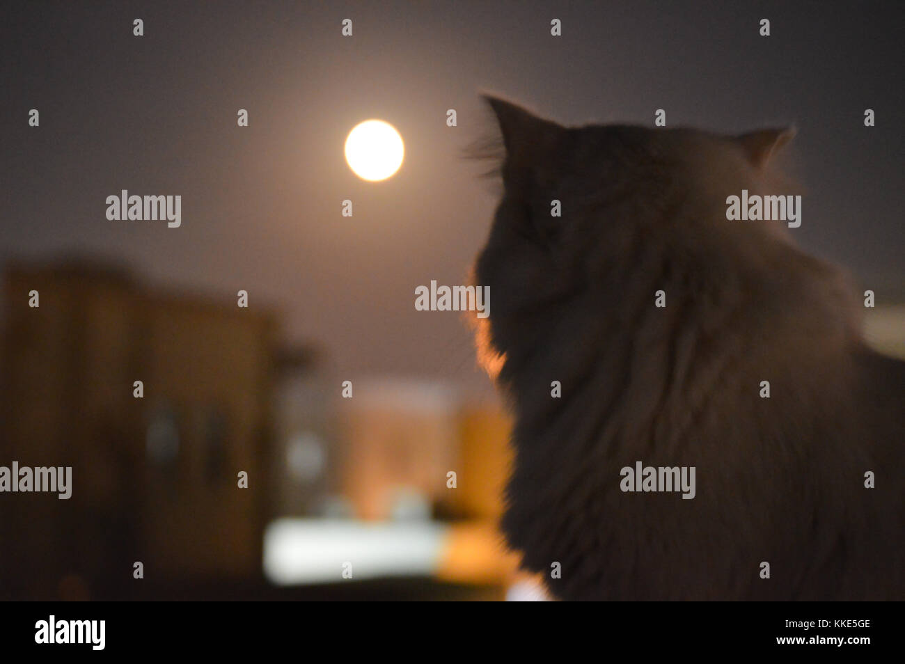 A white cat on a rooftop at night with a beautiful moon. - Stock Image