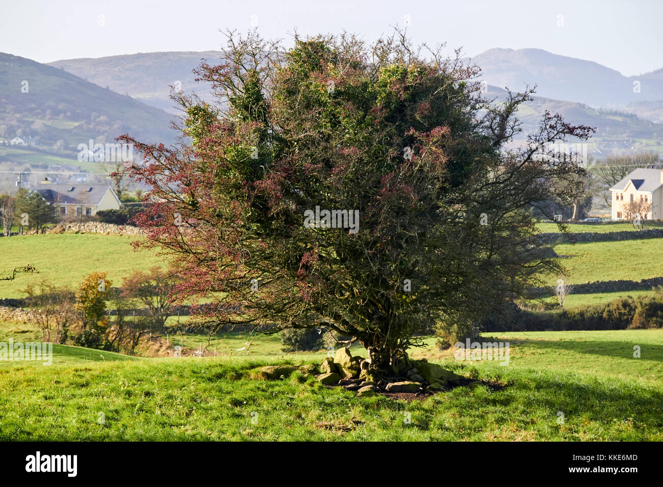 fairy thorn tree in the middle of fields in south county armagh northern ireland - Stock Image