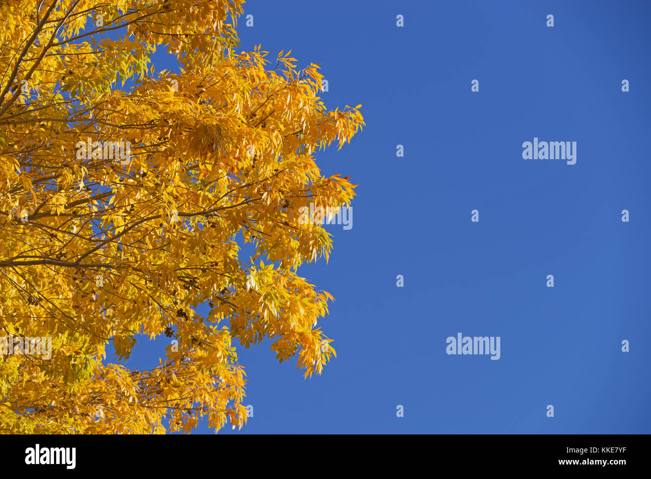 image of bright yellow autumn leaves against a blue sky - Stock Image