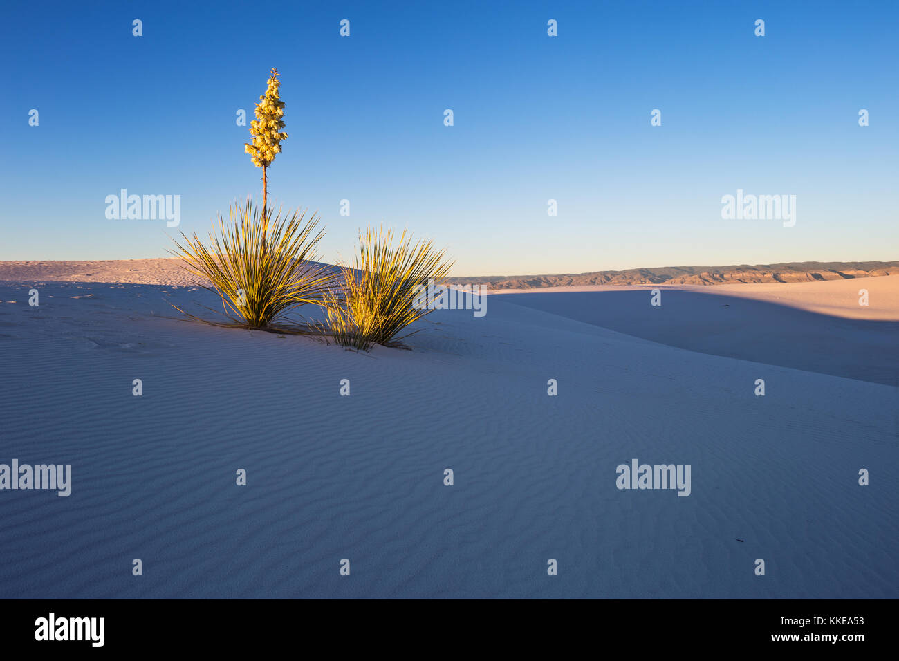 Sunset light illuminates a Soapweed Yucca on a sand dune in White Sands National Monument, New Mexico, USA. - Stock Image