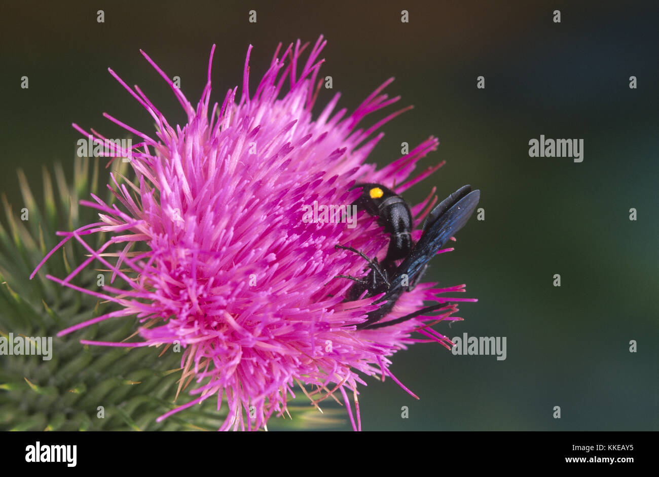 Hairy Flower Wasp (Scoliidae) on Scotch thistle flower - Stock Image