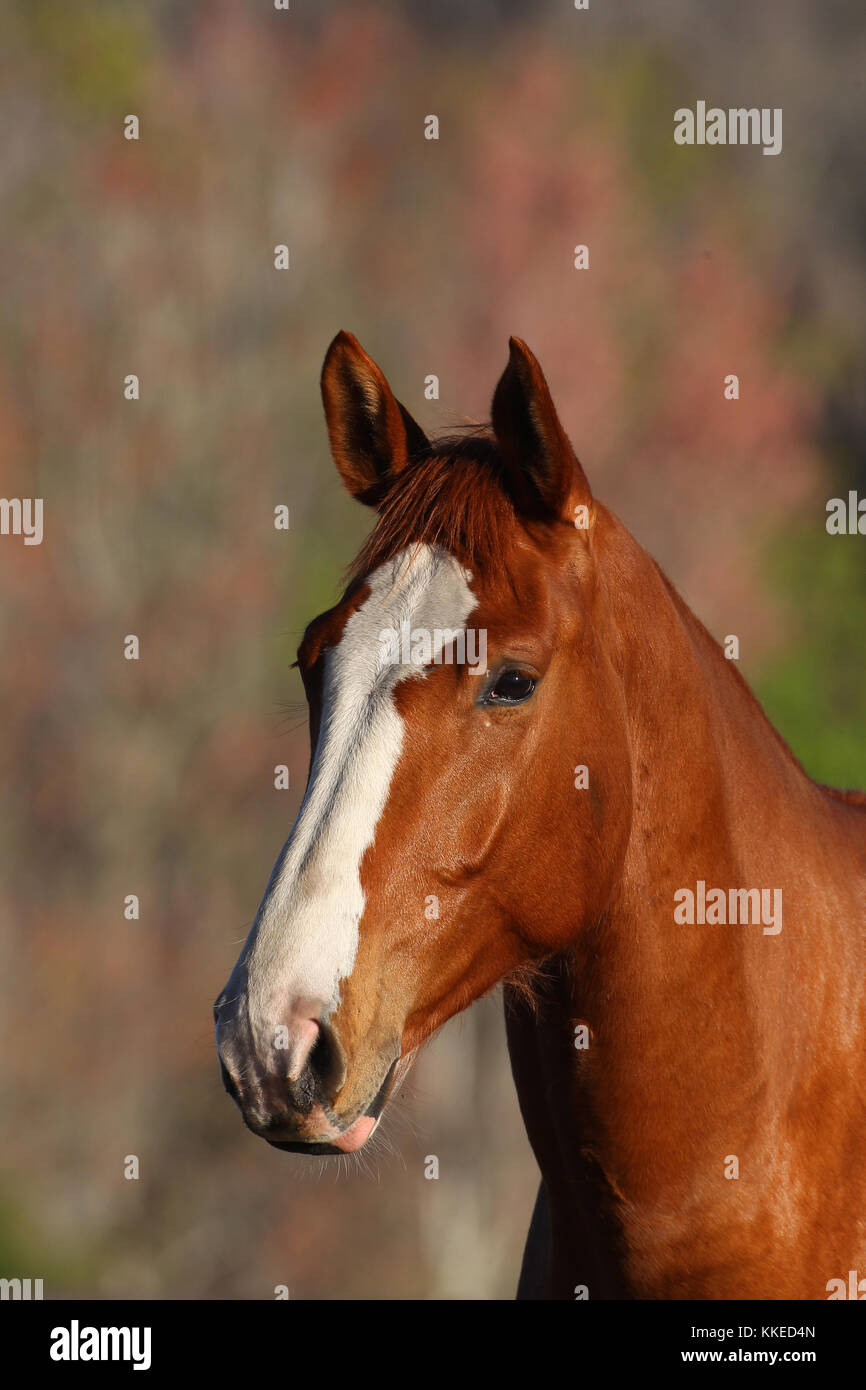 sport horse - Stock Image