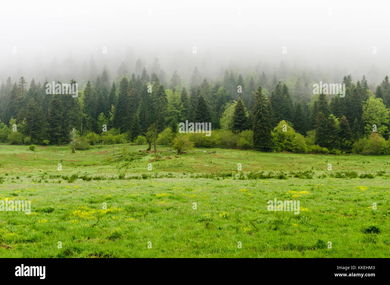 Conifer trees on a foggy morning in the Languedoc region of France - Stock Image