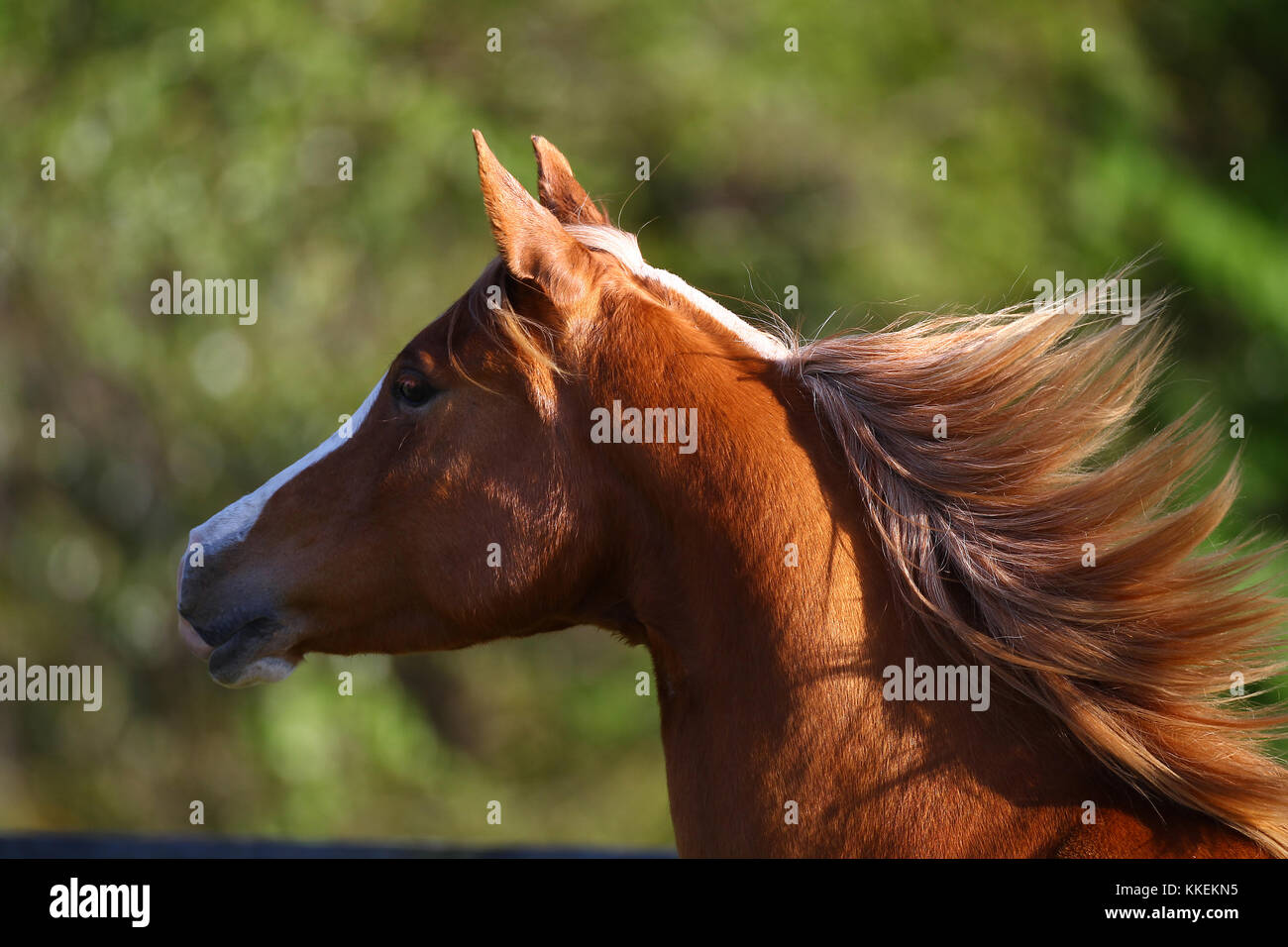 Chestnut Arab Headshot - Stock Image
