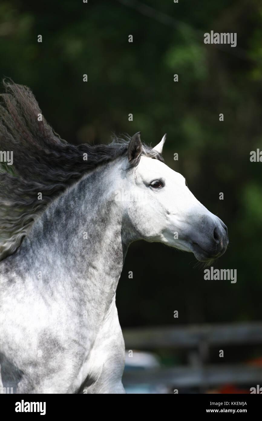 Grey Lusitano Stallion Running Free - Stock Image