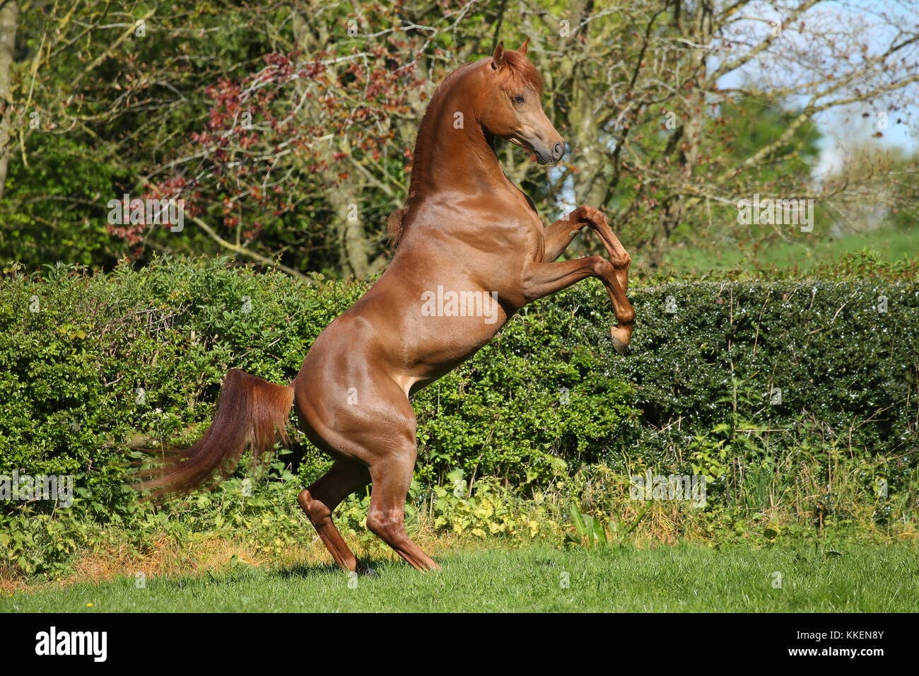 Chestnut Arab Stallion Rearing - Stock Image