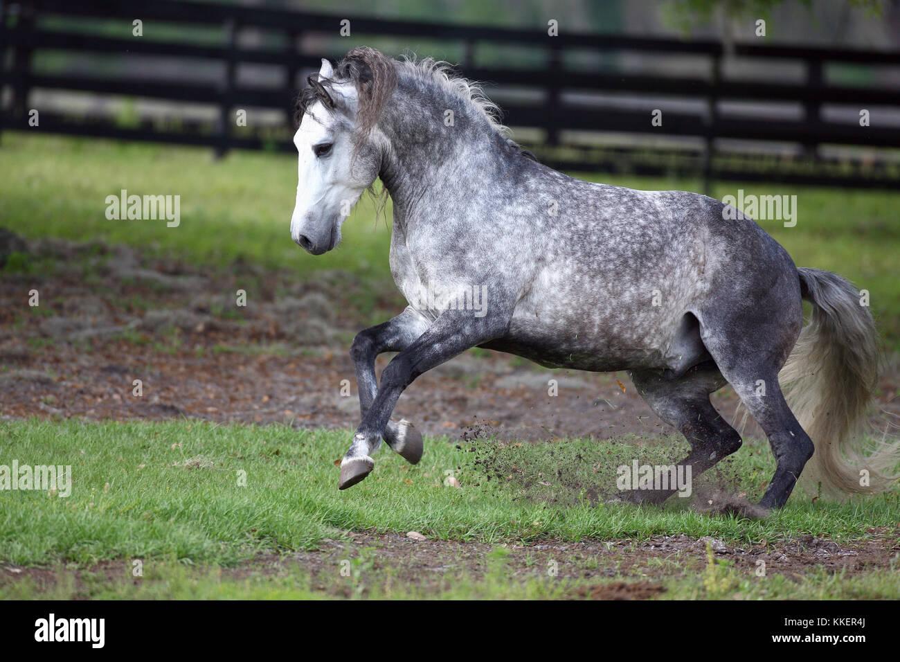 Lusitano Stallion Running Free In Paddock - Stock Image