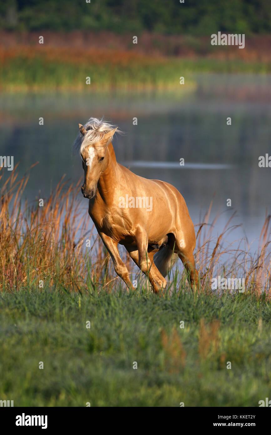 Palomino Lusitano Stallion By Lake - Stock Image