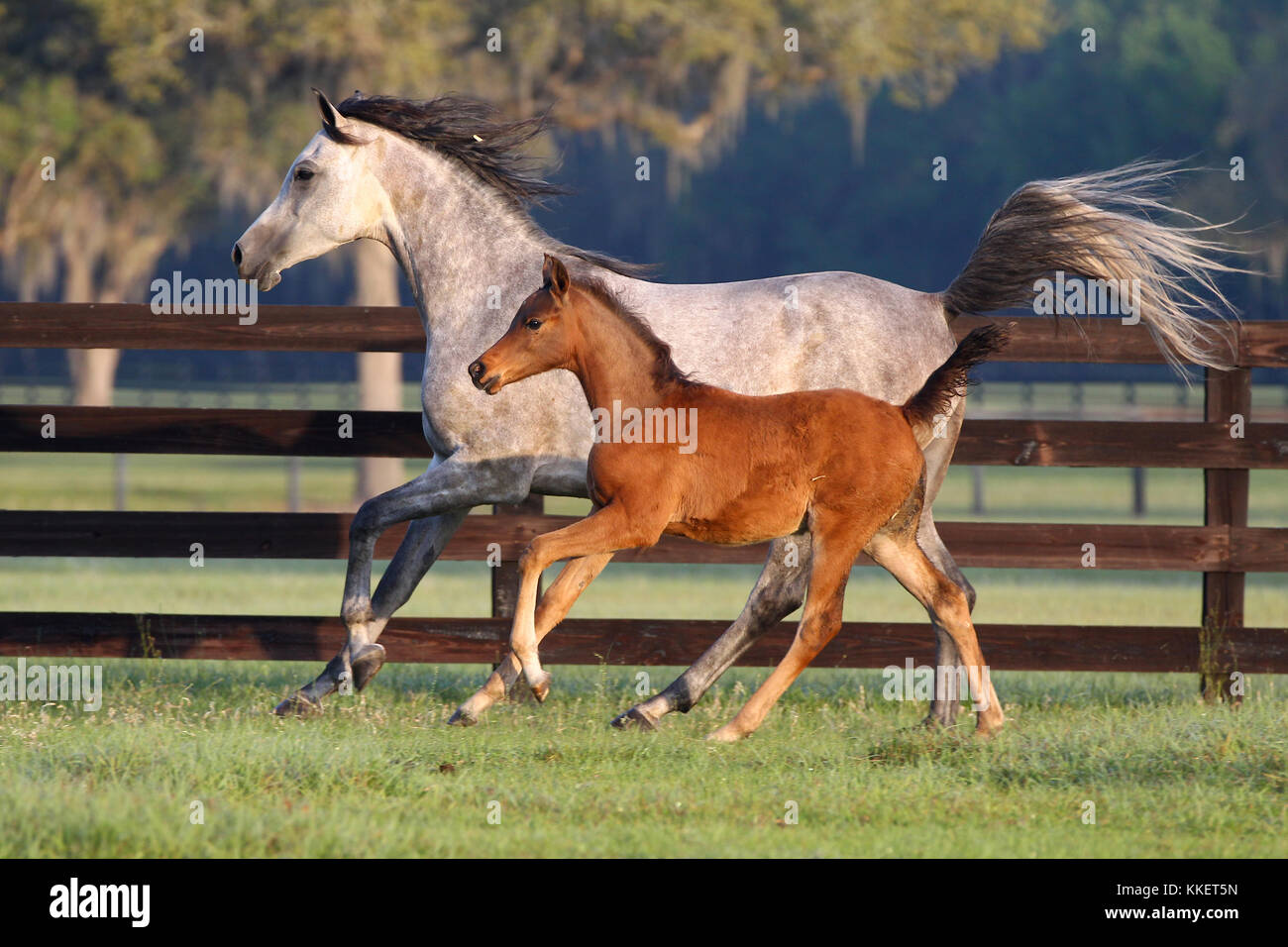 Arab Mare And Foal Cantering Together In Field - Stock Image