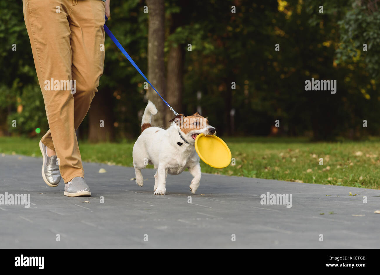 Obedient dog next to owner walking on leash holding toy in mouth - Stock Image