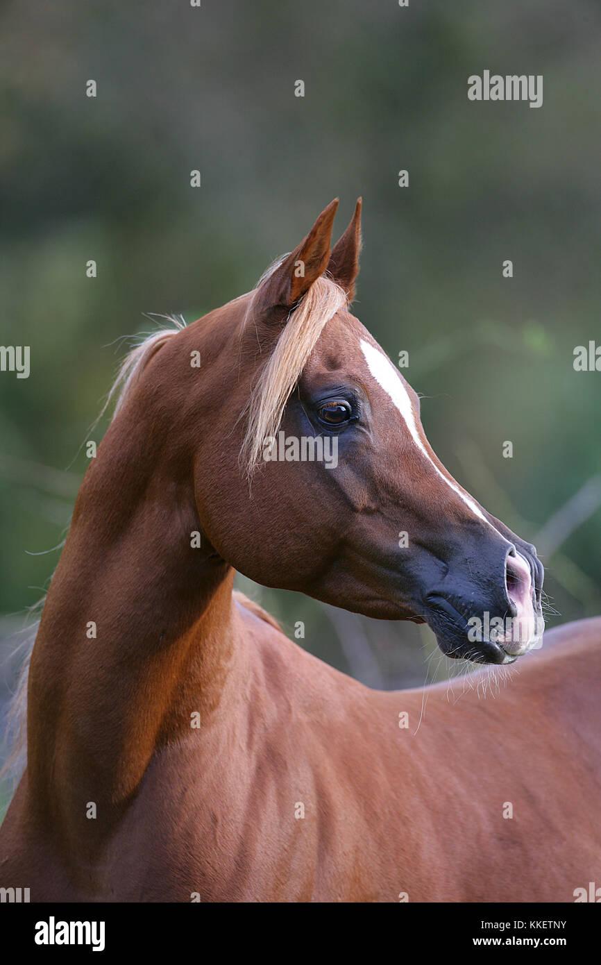 Chestnut Arab stallion Headshot - Stock Image