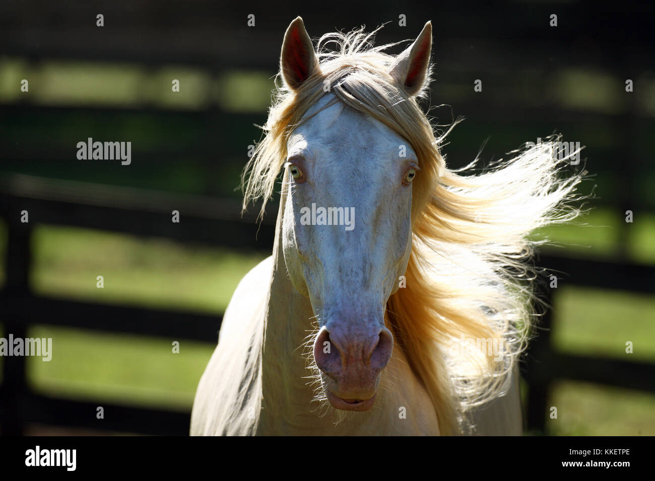 Cremello Lusitano Stallion Headshot - Stock Image