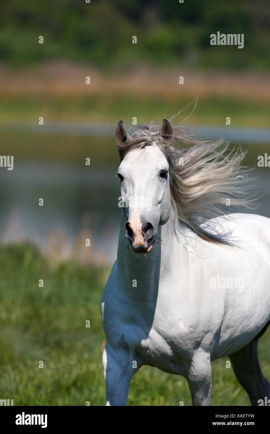Grey Lusitano Stallion - Stock Image