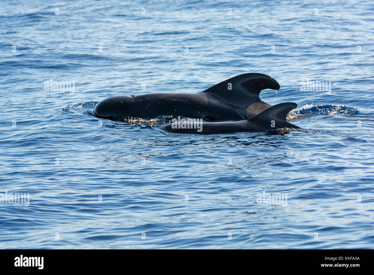 Dolphins and whales watching in Sao Miguel Island, Azores, Portugal - Stock Image