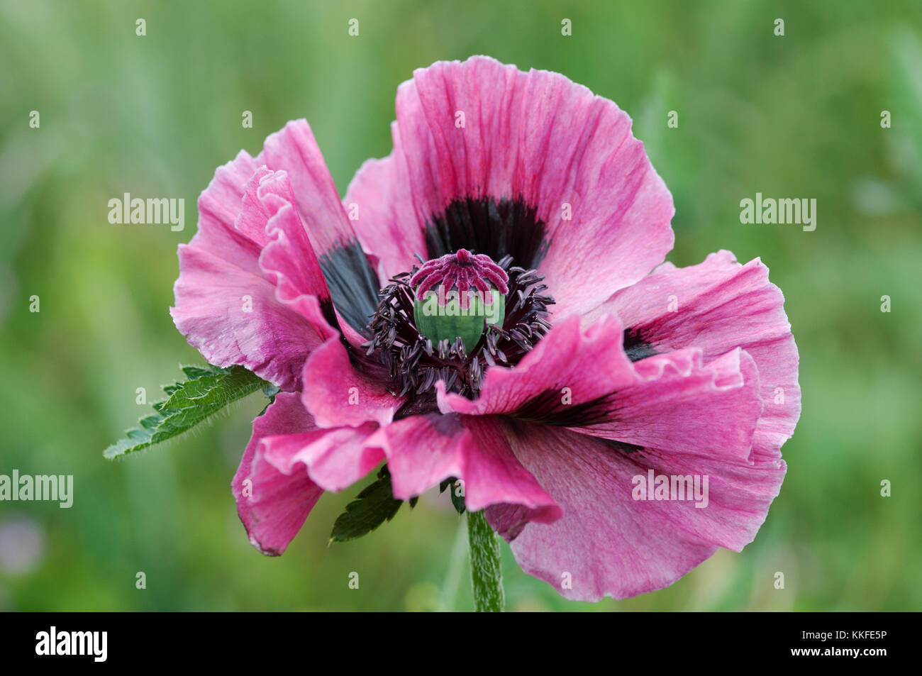 PAPAVER ORIENTALIS MANHATTAN - Stock Image