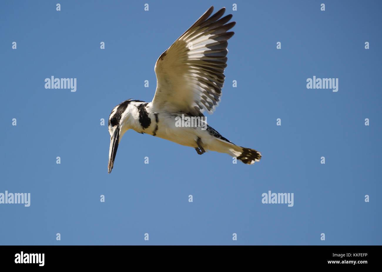Wildlife on Chobe River, Botswana - Stock Image