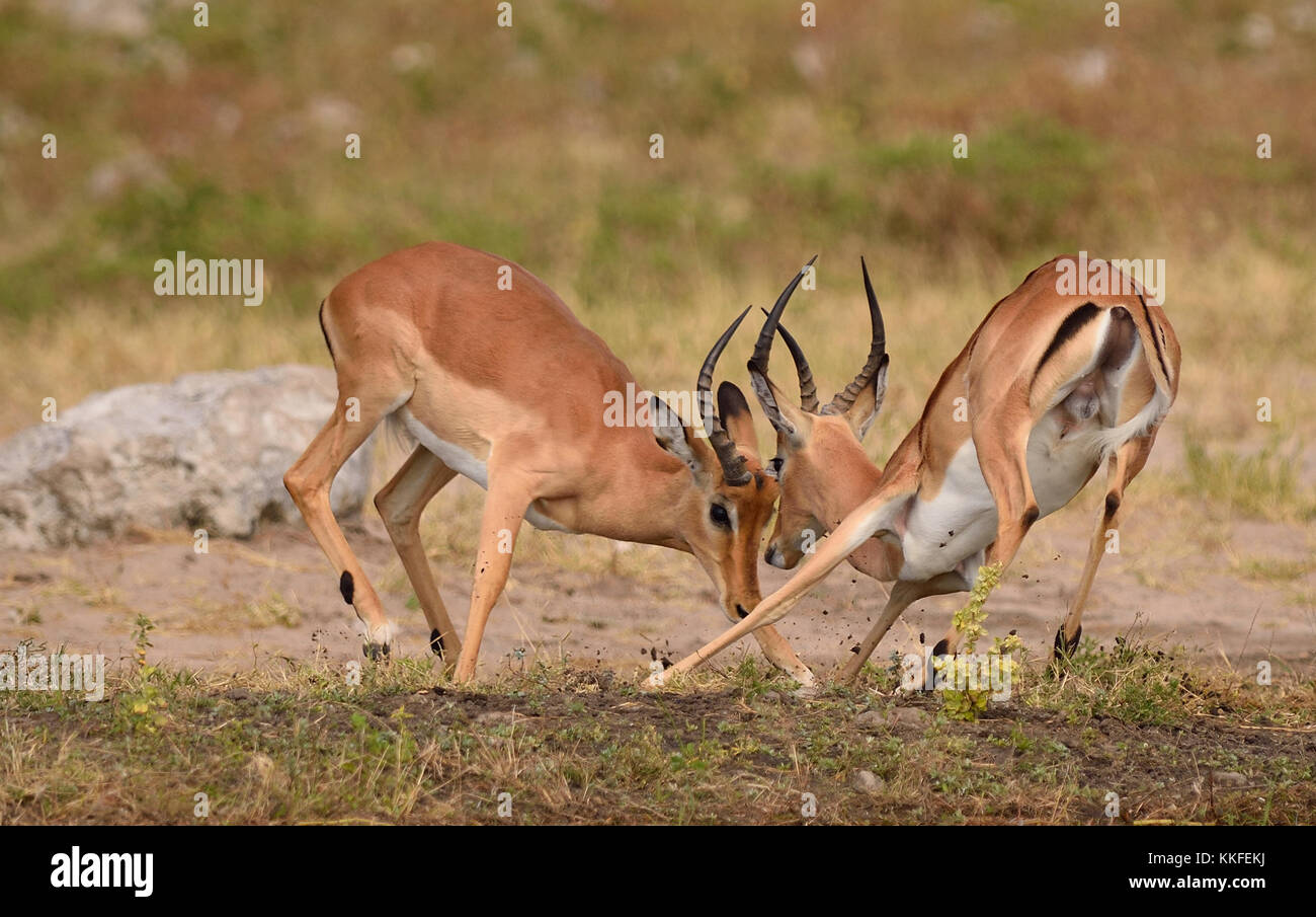 Wildlife on Chobe River, Botswana - Stock Image