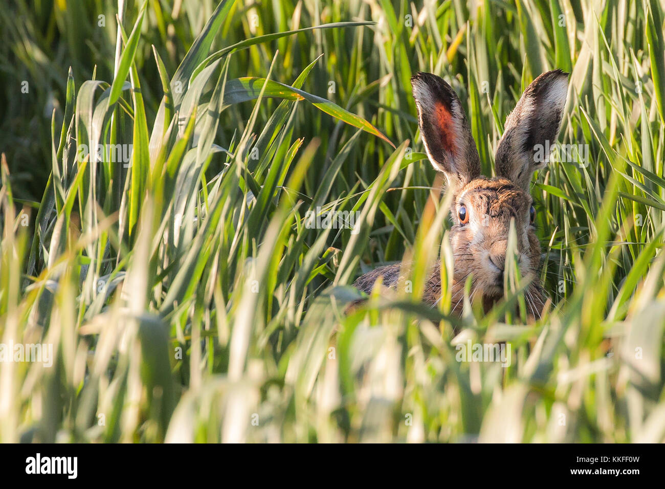 Norfolks wild hare peeking above the crop field looking at the camera close up. Norfolk in the UK has a lot of hares - Stock Image